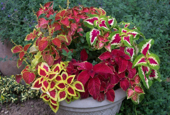 Coleus Flower Plant, excellent shade garden plants that come in a variety of colors, also great container plants