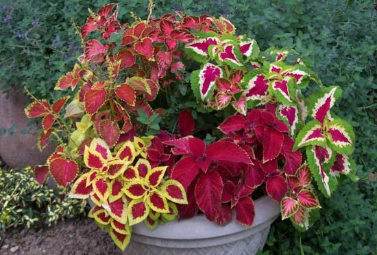 Coleus Flower Plant