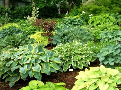 Hosta Garden, shade garden plants