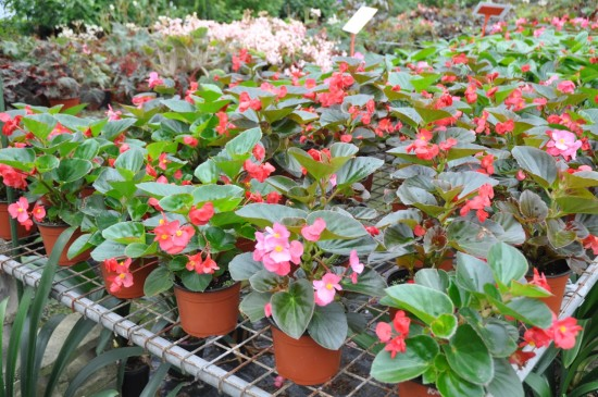 shade garden plants like begonias will add color to your gardens