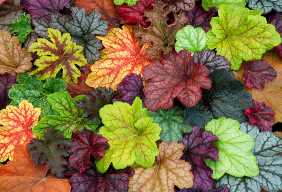 heuchera foliage for shady areas