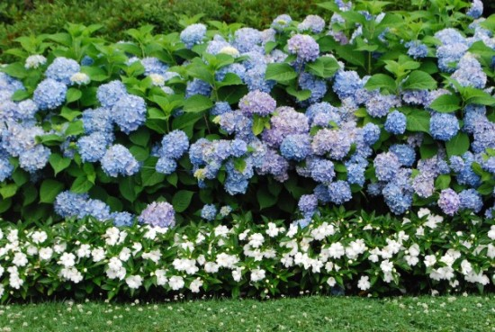 hydrangeas that love shade