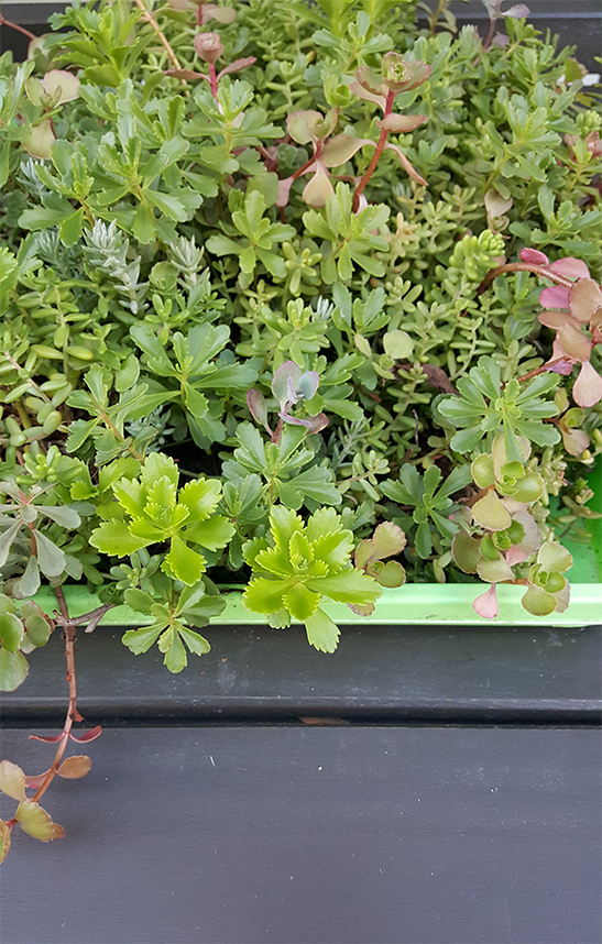 Assorted Succulents Sedum