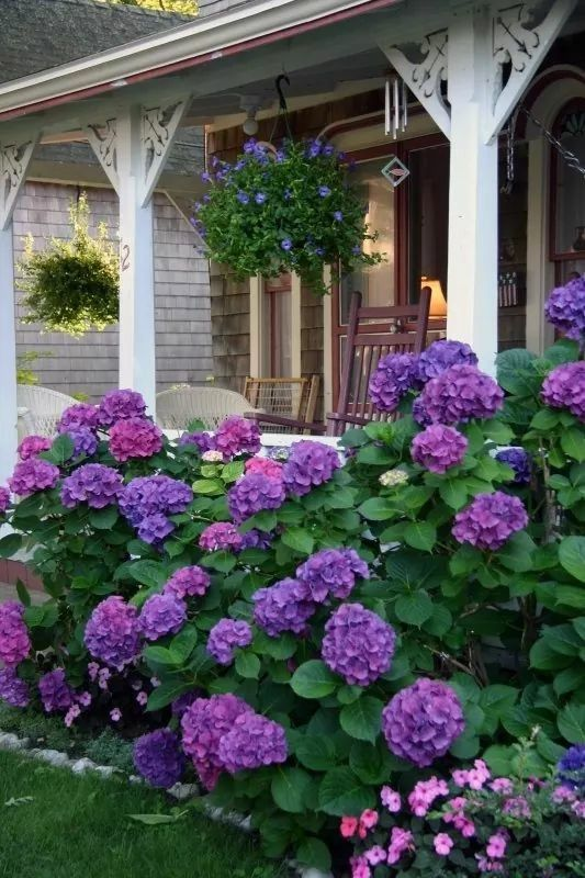 purple hydrangeas around the front porch outdoor ideas