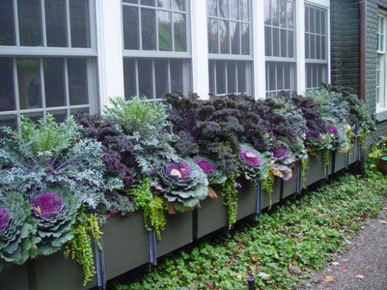 fall gardening cabbage and ornamental kale