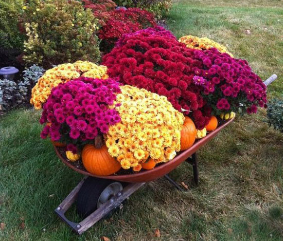 wheelbarrel full of mums