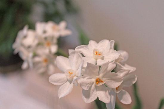 paperwhite petals 2