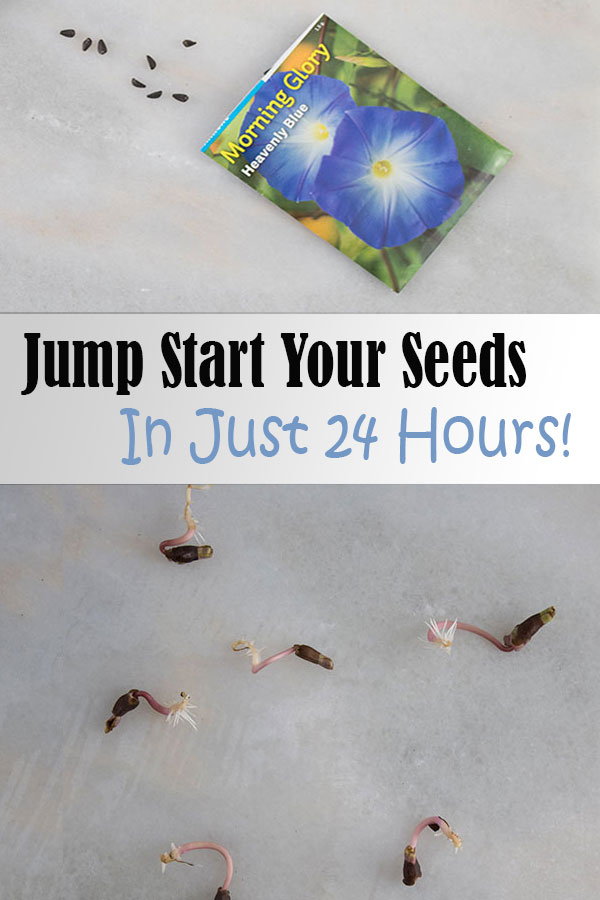 Jump start your flower seeds with this trick to get them to germinate in just 24 hours!