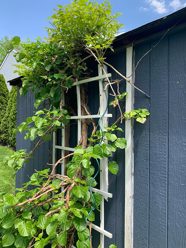 climbing-vines-on-blue-painted-shed