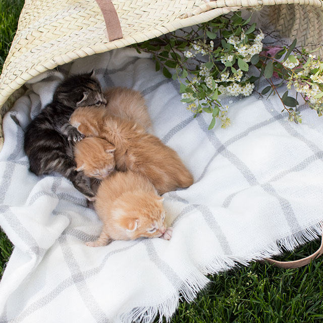 kittens-in-basket