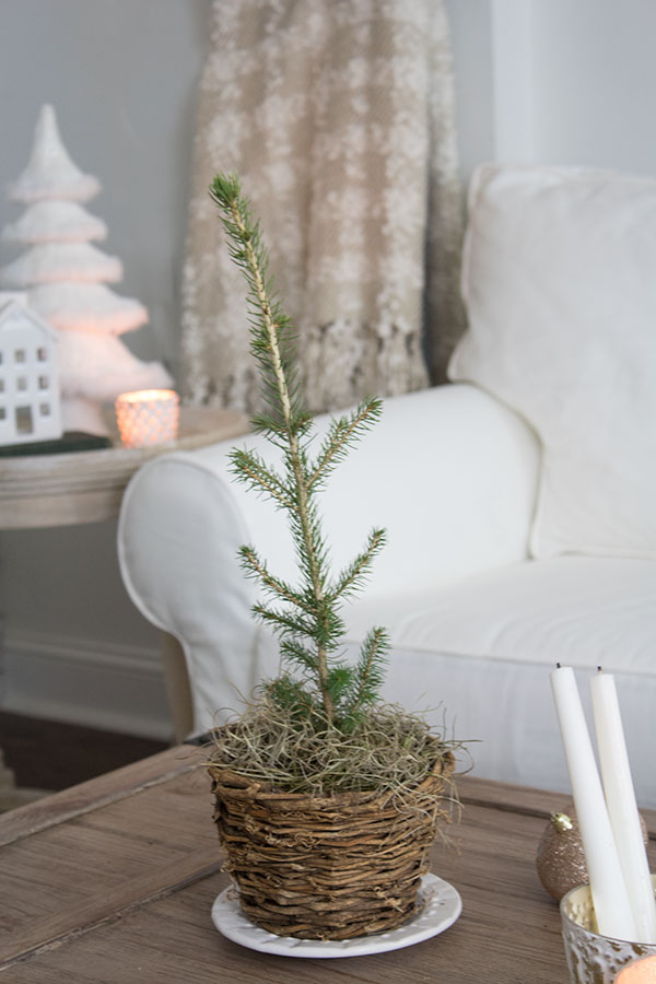 Live mini Christmas tree in a basket