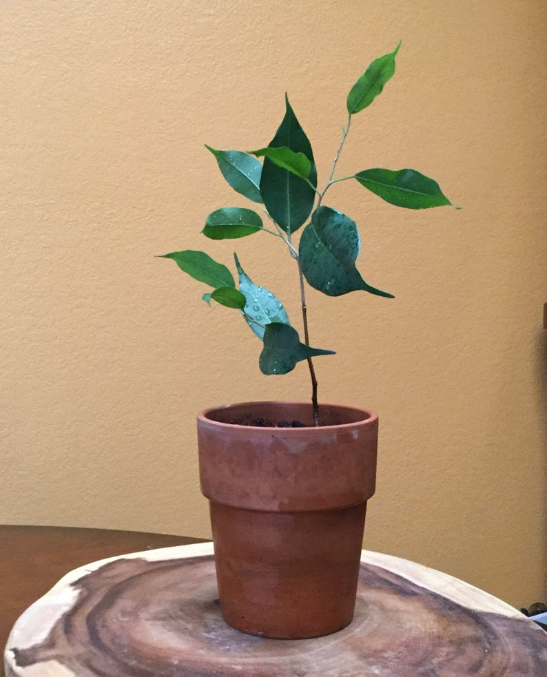 the weeping fig tree plant is a great air purifying houseplant