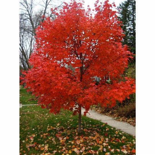 Autumn Blaze Red maple tree