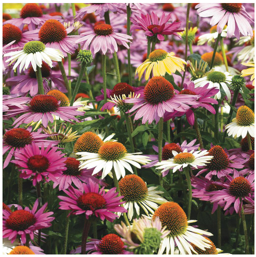Coneflowers - Landscape plants for fall color