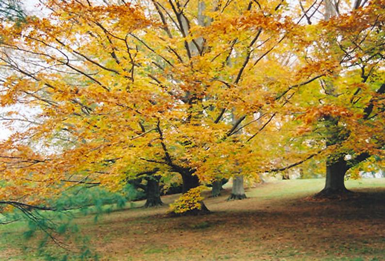american beech tree for fall color
