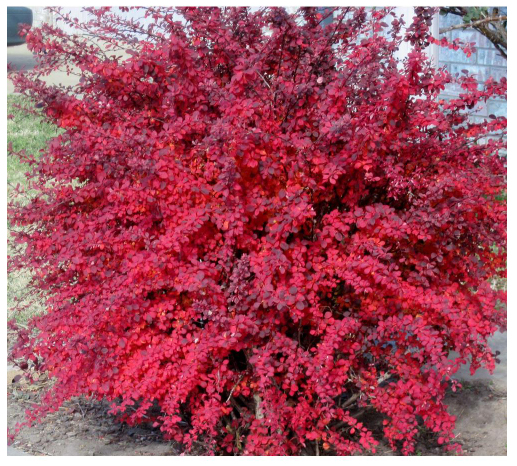 barberry shrub for fall colors