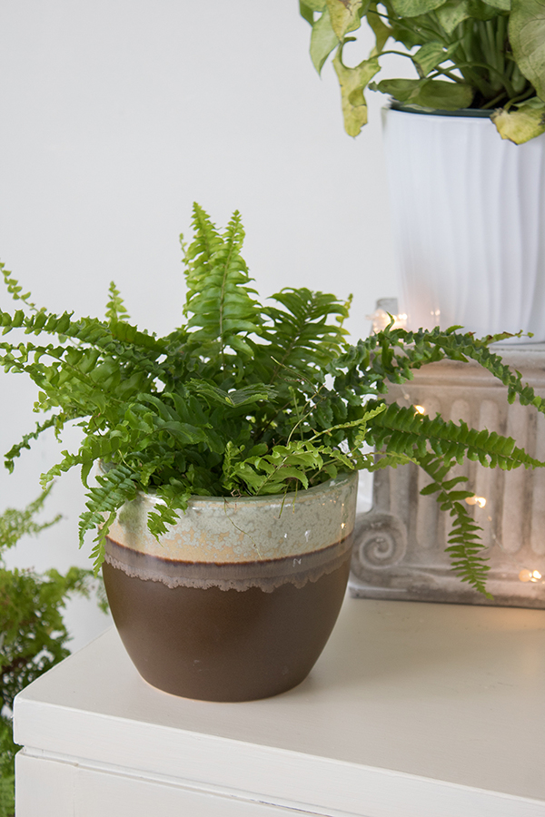 fern in ceramic planter pot