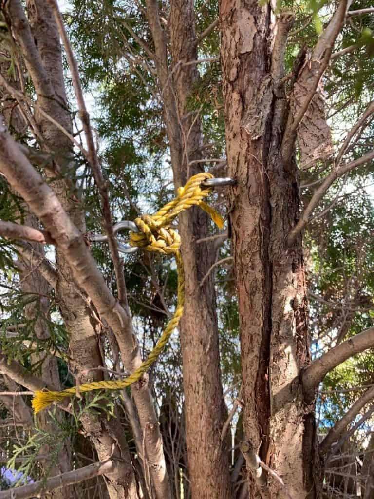 how to fix damaged arborvitae branches, arborvitae damage repair