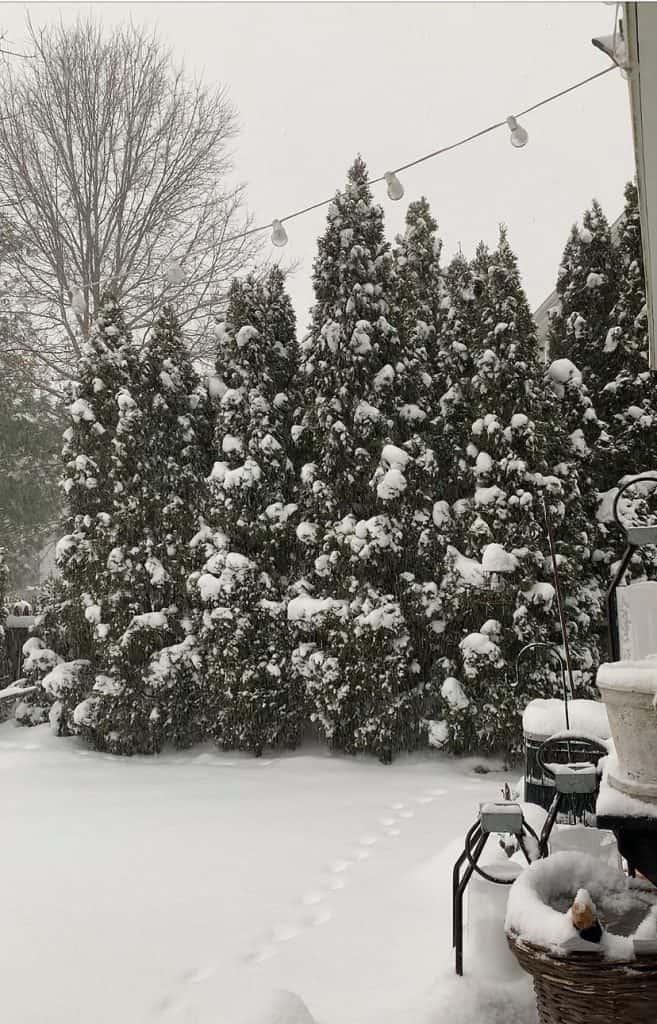 arborvitae covered in snow