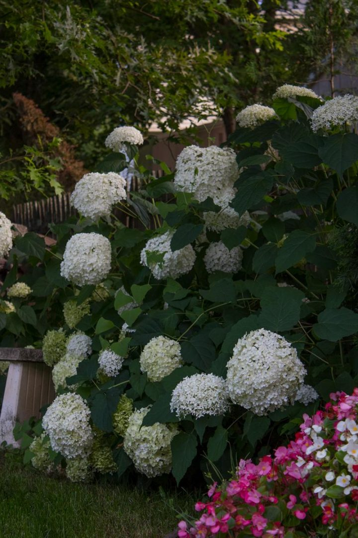 limelight hydramgeas for shade gardens