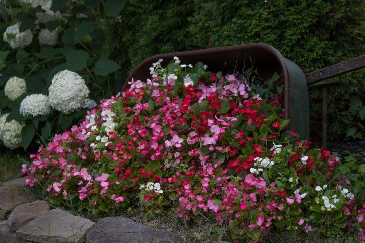 begonias for shade gardens